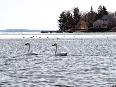 20070411_swans