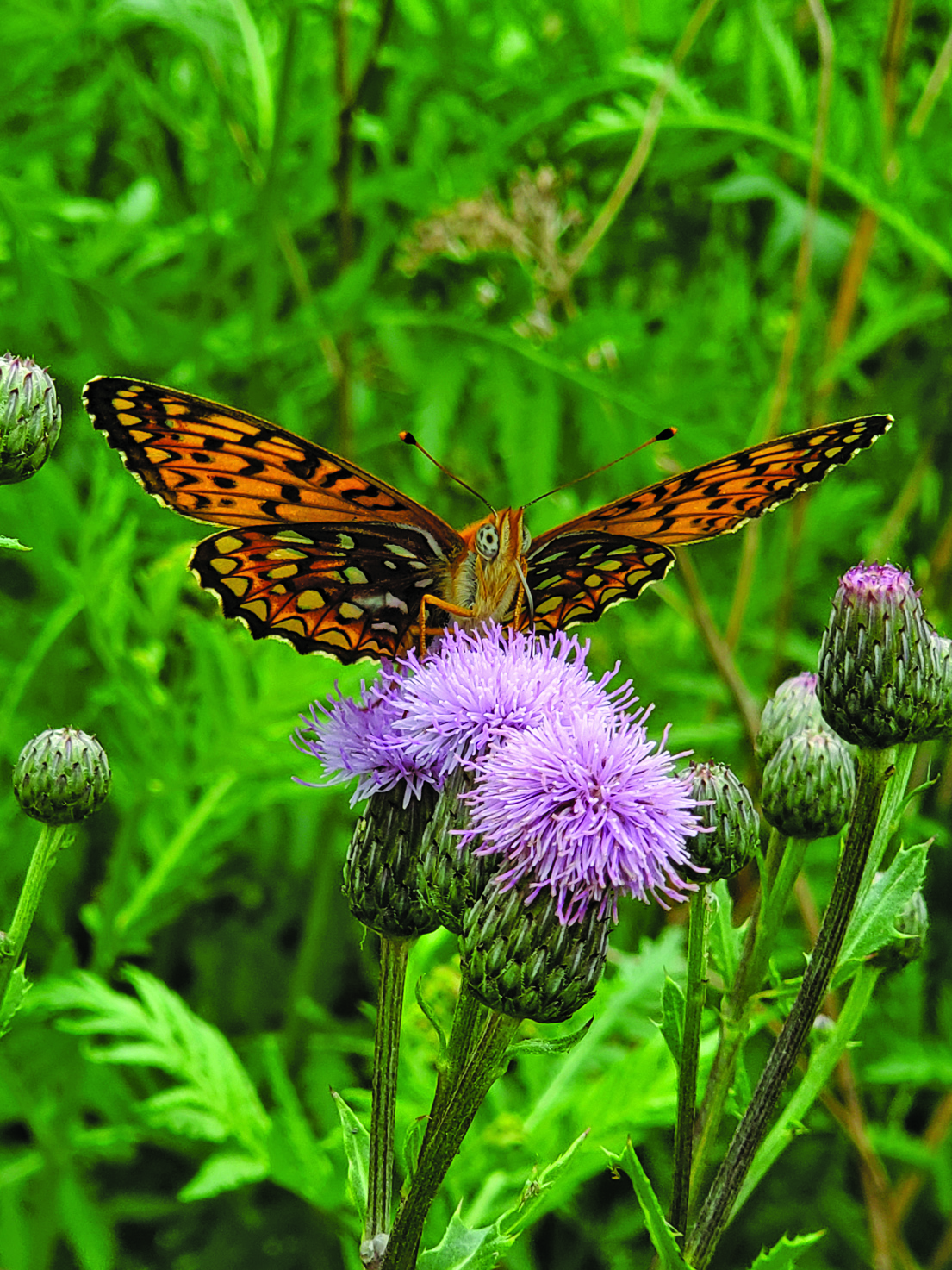 westover butterfly
