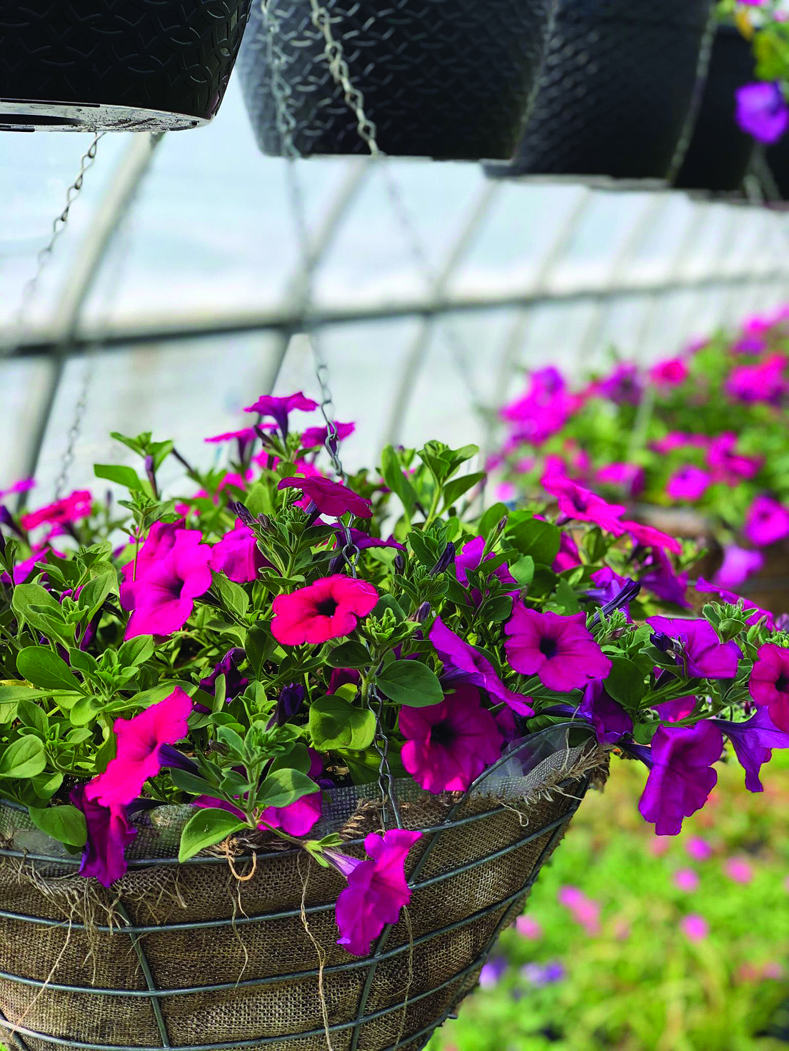 Project Petunia set to bloom