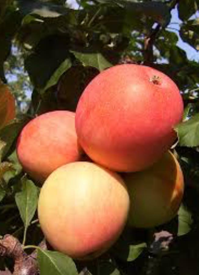 Apple trees selling out fast at local nurseries